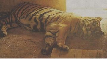 Έκκληση για τη μεταφορά τίγρης από τα Τρίκαλα στο Σαν Ντιέγκο