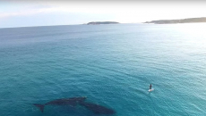 Whales get cosy with paddle boarder on West Australian coast