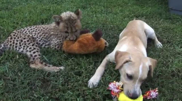 Cheetah cub and puppy become best friends at Virginia zoo