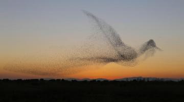 Φωτογραφία δείχνει σμήνος πουλιών να σχηματίζουν ένα γιγάντιο πουλί