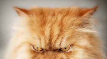 Η πιο θυμωμένη γάτα του κόσμου