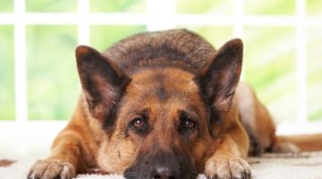 Ο σκύλος ως πρότυπο ολοκληρωτικής αφοσίωσης στον Κύριο