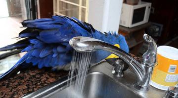 Παπαγάλος μετατρέπει μια βρύση σε ντους