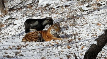 Live Goat Given To Tiger As Food … And They Become Best Friends