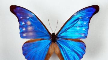 Γλωσσικά τινα (ΣΣΤ'): το πολυσήμαντο ουσιαστικό πεταλούδα