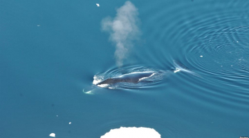 Scientists: Bowhead Whales Are 'Jazz Singers of the Arctic'