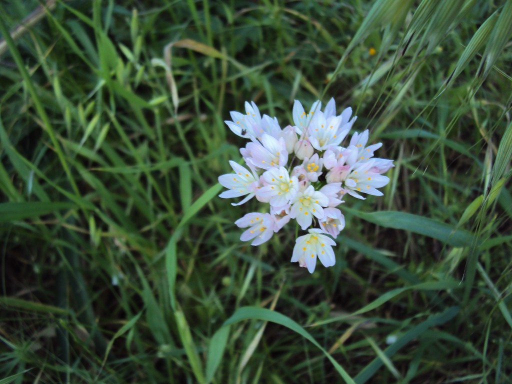 Allium roseum (5)