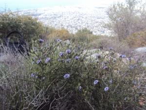 Αντίγραφο από globularia alypoum στουρέκι