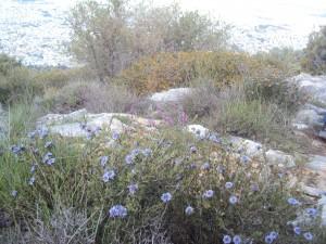 Αντίγραφο από globularia alypoum στουρέκι (4)