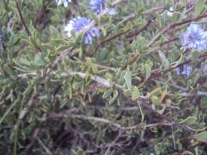 Αντίγραφο από globularia alypoum στουρέκι (5)