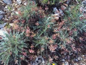 astragalus spruneri (3)
