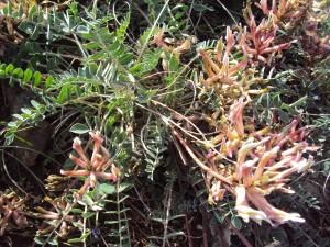 astragalus spruneri (4)