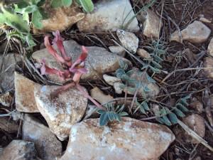 astragalus spruneri1
