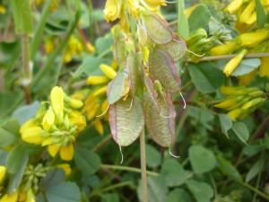 melilotus-graecus
