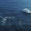 More than 100 humpback whales surrounds boat off coast of Australia
